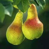 Corella Pears