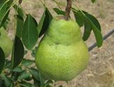 Williams (Bartlett) Pears