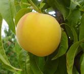 T204 Peaches