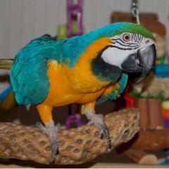 Blue gold macaws parrots