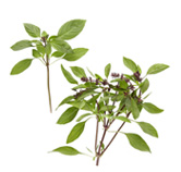 Asian Basil Processed