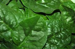 Baby Spinach Leaf