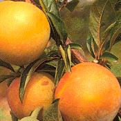 Aumann Fresh Apricots