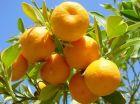 Premium Oranges