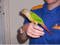 Hand Raised Conures