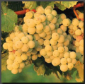 2008 Chardonnay Wine