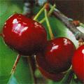 Aumann Fresh Cherries