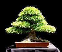 Bonsai Classes For You